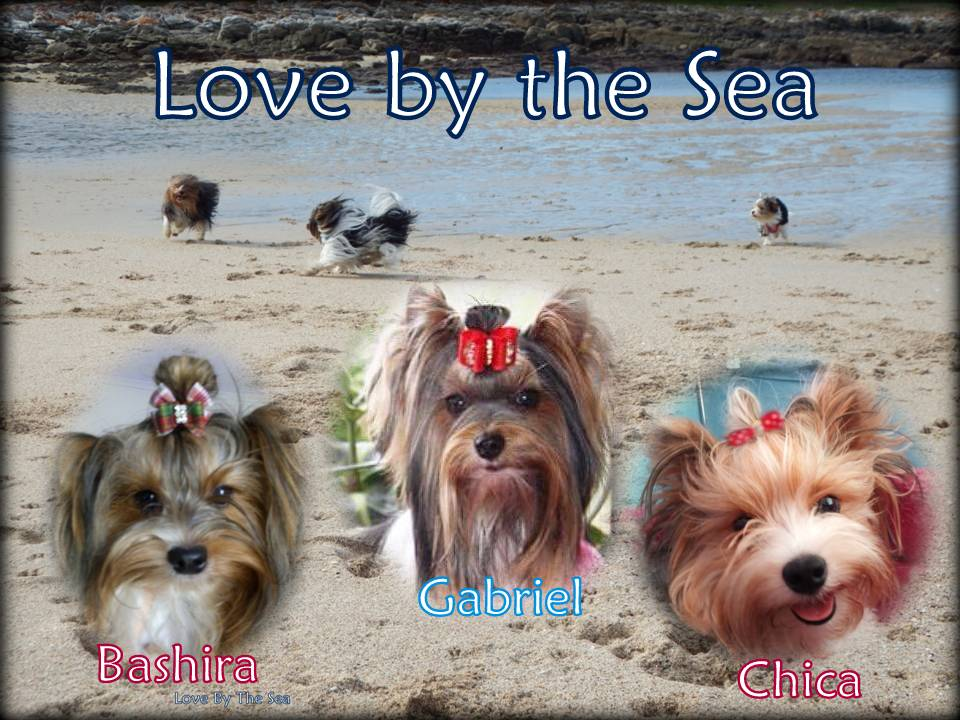 lovebythesea-biewer-terriers-port-elizabeth