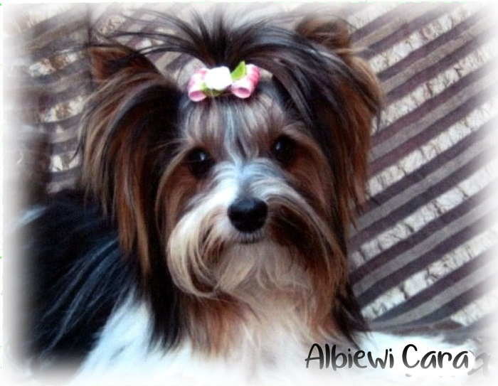 albiewi-biewer-terriers-somerset-west